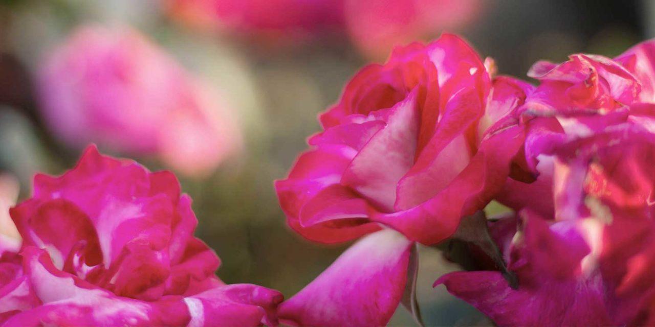 https://www.tildet.com/wp-content/uploads/2020/07/roses2-1280x640.jpg